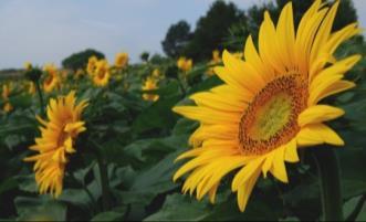 Ausstellungsstück Sonnenblume